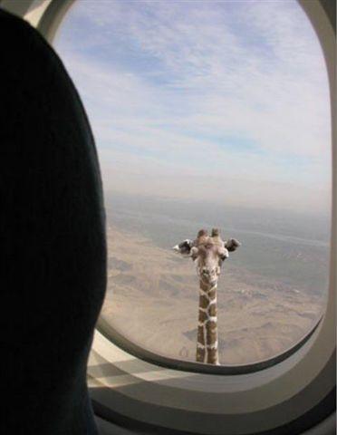 girafe par le hublot